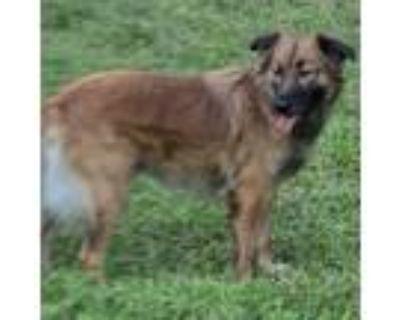 Adopt Gentry a Shetland Sheepdog / Sheltie, Shepherd
