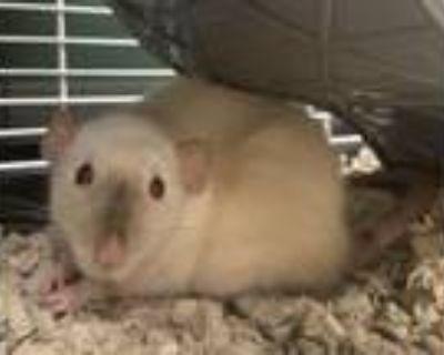 Luna, Rat For Adoption In Bend, Oregon