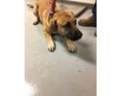 Adopt RUMBLE a Brown/Chocolate Black Mouth Cur / Mixed dog in Los Lunas