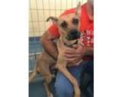 Adopt BELLAMAY a Tan/Yellow/Fawn Husky / Mixed dog in Chico, CA (31906085)