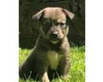 Adopt Warf a Siberian Husky / Shepherd (Unknown Type) / Mixed dog in Matawan