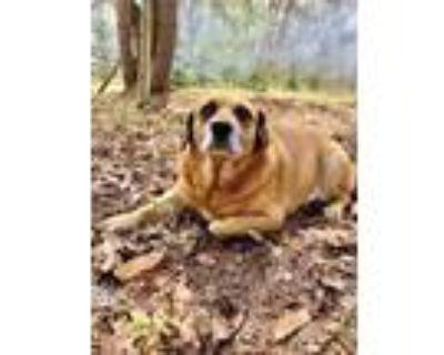 Adopt Nutter Paul a Beagle, Labrador Retriever
