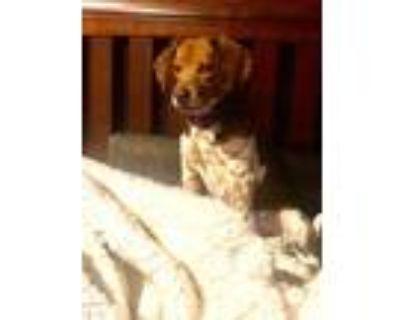 Adopt Little Timmy a Beagle