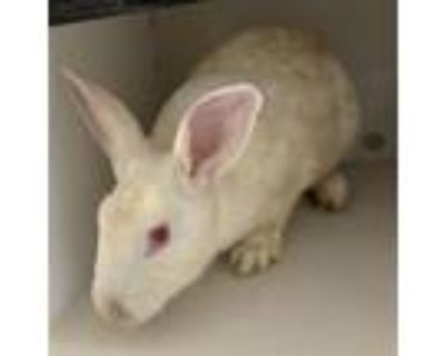 Adopt Aliyah a Other/Unknown / Mixed rabbit in Houston, TX (31926268)
