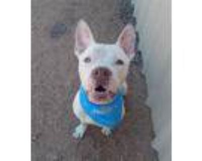 Adopt ZEPPELIN a White - with Red, Golden, Orange or Chestnut American