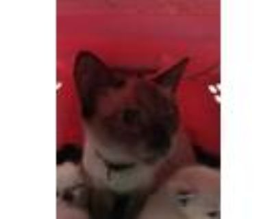 Adopt 48242863 a Brown or Chocolate Siamese / Domestic Shorthair / Mixed cat in