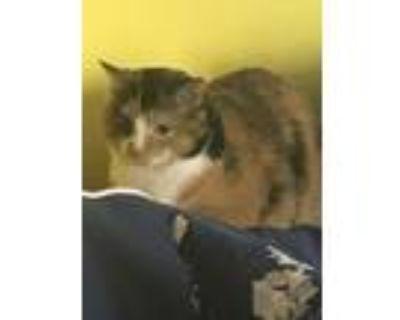 Adopt Callie a Calico or Dilute Calico Calico / Mixed (medium coat) cat in
