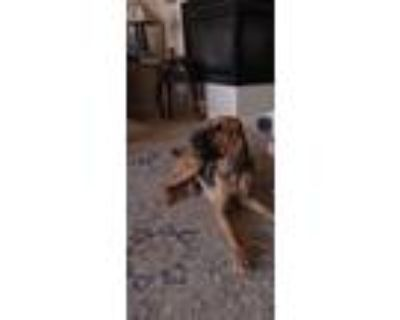 Adopt Cinderella a Brown/Chocolate Bloodhound / Mixed dog in Fort Mohave