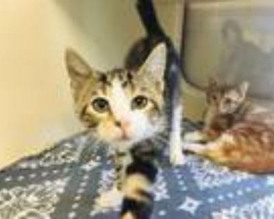 Adopt A694069 a Domestic Short Hair