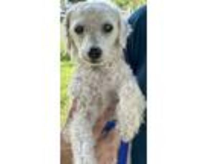Adopt Urgent Poodle in need.. a White Poodle (Toy or Tea Cup) / Mixed dog in Ft