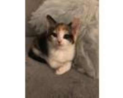 Adopt Queen Anne's Kitten: Mary a Domestic Shorthair cat in Washington