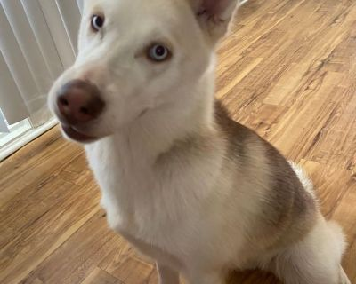 Brown/White Siberian Husky in need of a loving new home