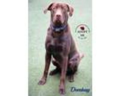 Adopt Dembay a Brown/Chocolate Labrador Retriever / Mixed dog in Youngwood