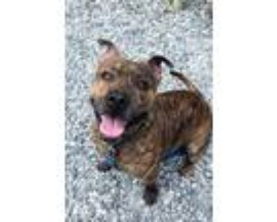 Adopt Maple a Brown/Chocolate American Pit Bull Terrier / Mixed dog in