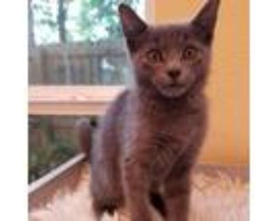 Adopt Kehlani a Gray or Blue Russian Blue / Mixed cat in Folsom, LA (31620295)