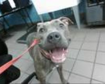 Adopt ZELDA a Brindle - with White American Pit Bull Terrier / Mixed dog in