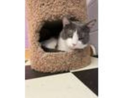 Adopt August **Polydactyl** a Domestic Short Hair