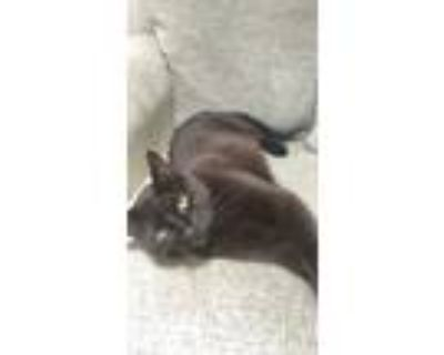 Adopt Chip a All Black Domestic Shorthair / Mixed (short coat) cat in Milwaukee