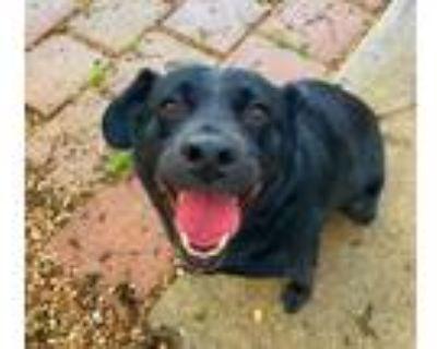 Adopt Maxwell a Labrador Retriever, Mixed Breed