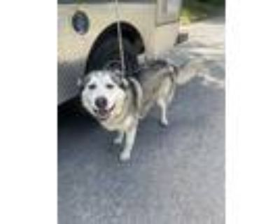 Adopt Merlin a White Alaskan Malamute / Mixed dog in Fort Worth, TX (31752494)