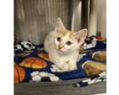 Adopt Wilbert a Domestic Shorthair / Mixed cat in Richmond, VA (32027570)