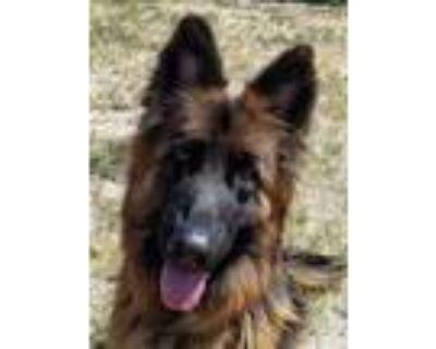 Adopt Baby a Black German Shepherd Dog / Mixed dog in Cheyenne, WY (32062747)
