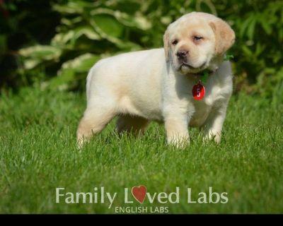 Black and Yellow English Labrador Retriever Puppies