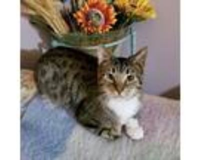 Adopt Mandrake a Brown or Chocolate Domestic Shorthair cat in Northbrook