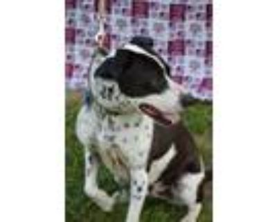 Adopt Buster a Border Collie, German Shorthaired Pointer