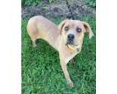 Adopt Freeway a Cane Corso / Mixed dog in Germantown, OH (32022412)
