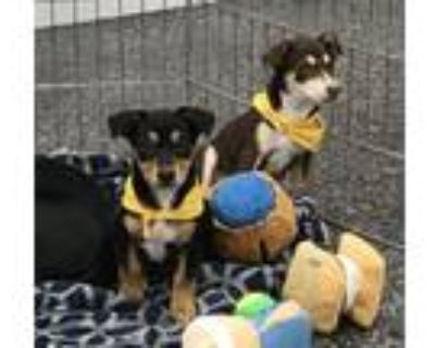 Adopt Tilly & Milly a Terrier, Dachshund