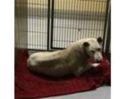 Adopt a White Shar Pei / Mixed dog in Modesto, CA (31604293)