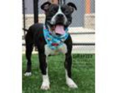 Adopt Gravity a Black American Pit Bull Terrier / Mixed dog in Kansas City