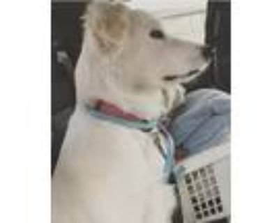 Adopt Snow a Tan/Yellow/Fawn Golden Retriever / Mixed dog in Mesquite