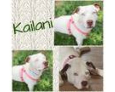 Adopt Kailani a White Pit Bull Terrier / Catahoula Leopard Dog dog in Colorado