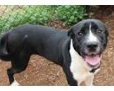 Gunner, Labrador Retriever For Adoption In Anderson, South Carolina