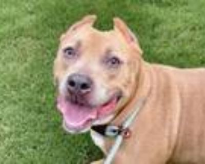 Adopt Rainy a Pit Bull Terrier, Mixed Breed