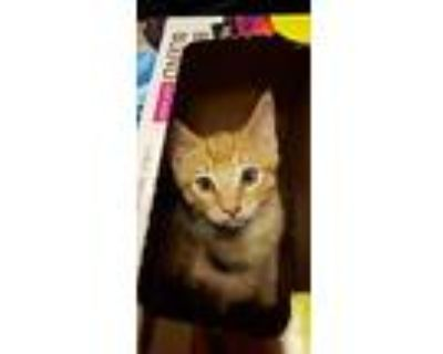 Peter, Domestic Shorthair For Adoption In Amarillo, Texas