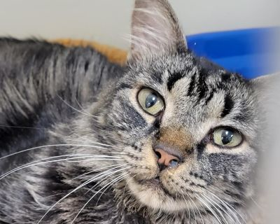 Percy Jackson - Domestic Longhair - Adult Male