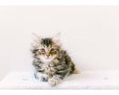 Adopt Fred a Brown Tabby Maine Coon (long coat) cat in Woodland Hills