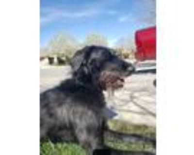 Adopt ROCKET a German Shepherd Dog, Standard Poodle