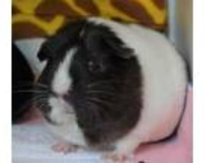 Adopt Cleo a Silver or Gray Guinea Pig / Guinea Pig / Mixed small animal in