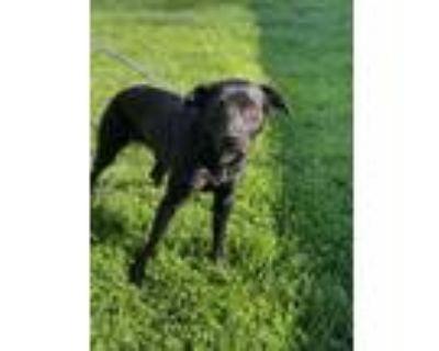 Adopt Roxie a Labrador Retriever, Boxer