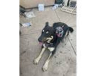 Adopt Percy a Black - with Tan, Yellow or Fawn German Shepherd Dog / Rottweiler
