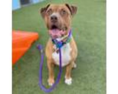 Adopt Moto a Brown/Chocolate American Pit Bull Terrier / Mixed dog in Phoenix
