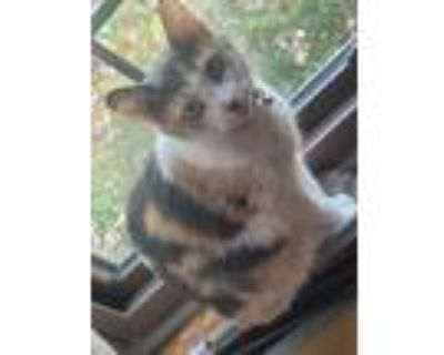 Adopt Lilly a Calico or Dilute Calico Calico / Mixed (short coat) cat in