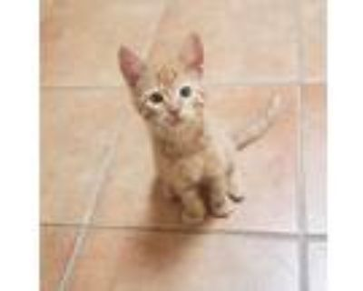 Milo, Domestic Shorthair For Adoption In Yucca Valley, California