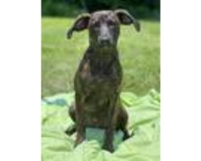 Adopt Margie a Brindle Plott Hound / Mixed dog in Chester Springs, PA (31865072)
