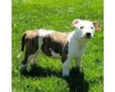 Adopt Magnolia a White - with Tan, Yellow or Fawn Pit Bull Terrier / Labrador