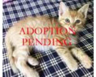 Adopt Clementine a Orange or Red (Mostly) Domestic Shorthair (short coat) cat in